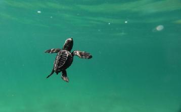PV Swimming Turtle