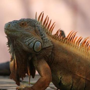pv iguana